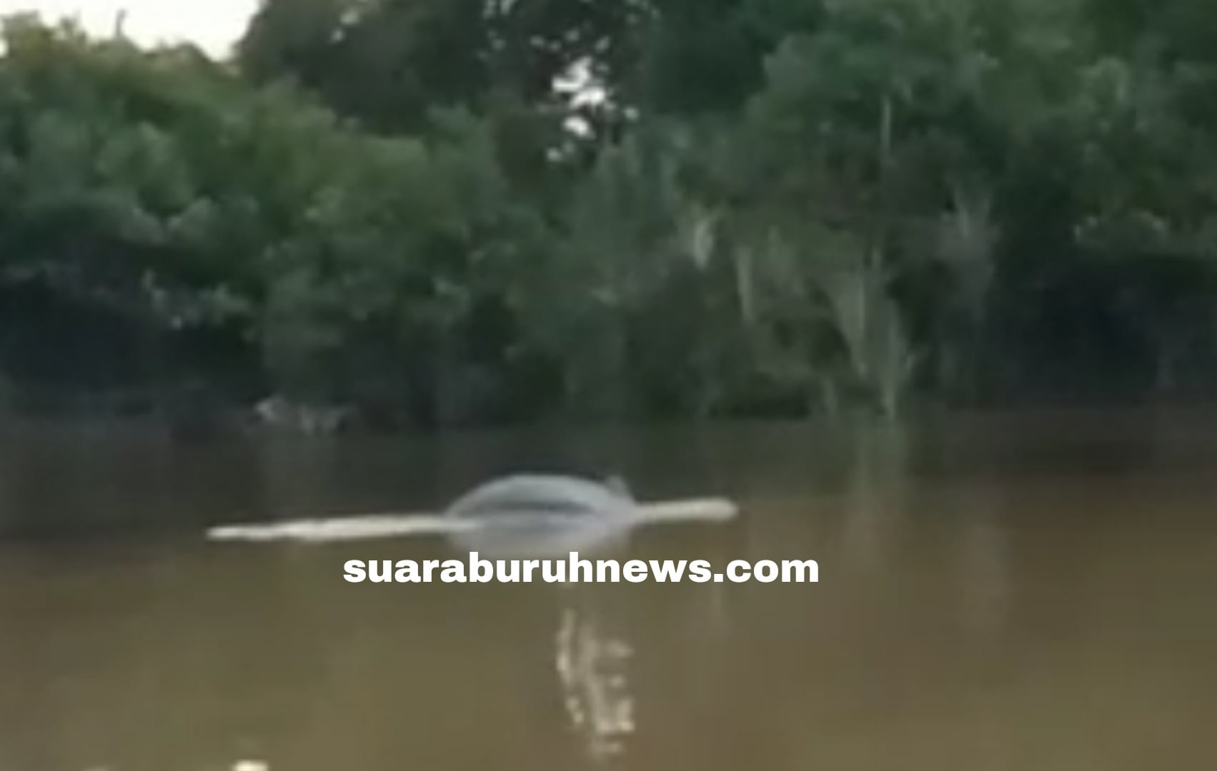 Nelayan Dikagetkan Lumba-lumba Muncul di Sungai Segati